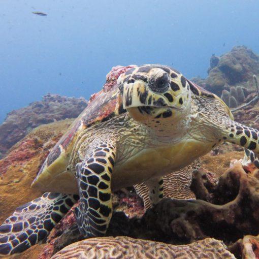 Hawksbille Turtle (Eretmochelys imbricata). First prize. Itziar Aretxaga. Verasub 2017. Cathegory: compact camera, landscape